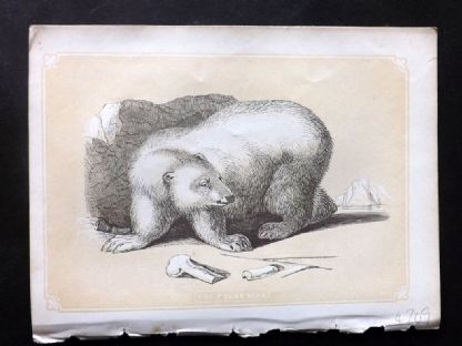 Bicknell 1851 Antique Print. Polar Bear